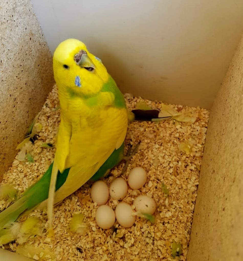 How Many Eggs Do Budgies Lay?