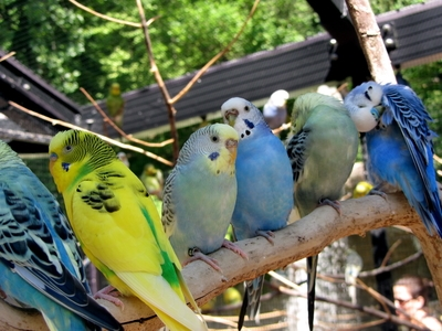 Where & How to Buy a Budgie